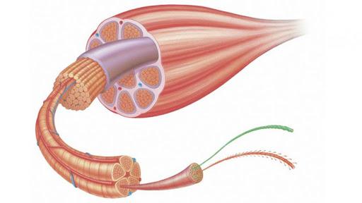 mišice vplivi razlik med spoloma