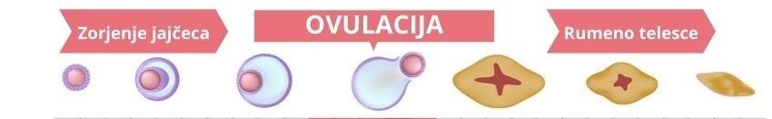 menstrualni cikel razvoj jajčeca
